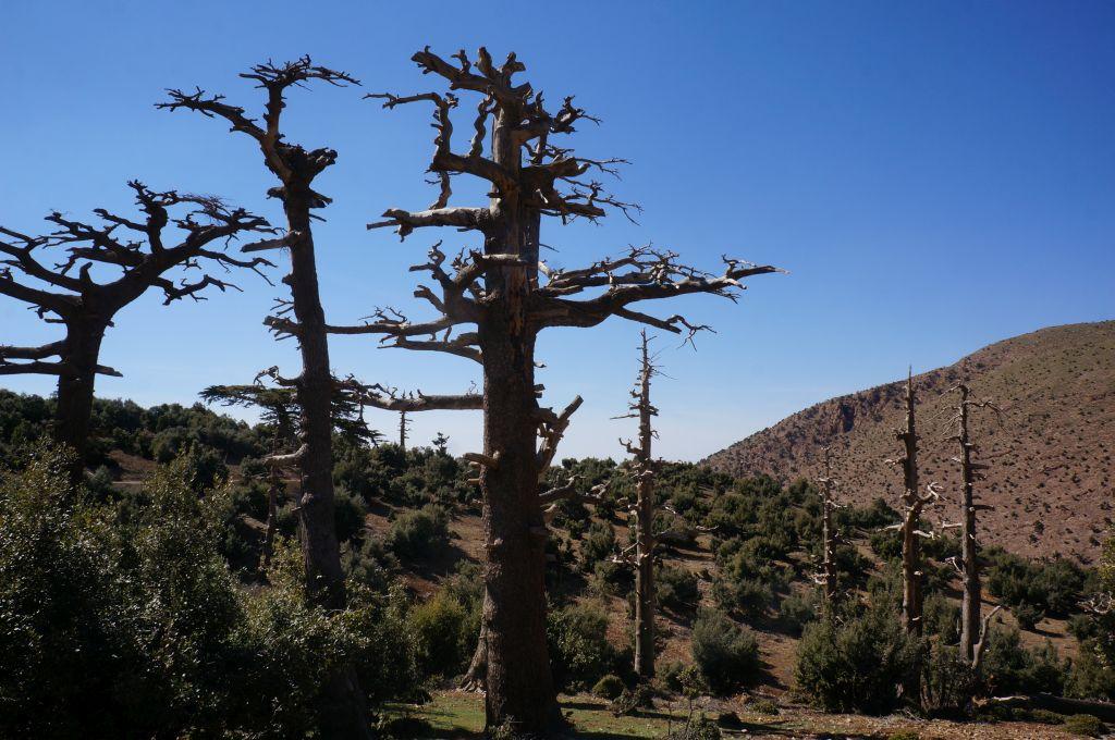 Mittlerer Atlas - Geisterbäume